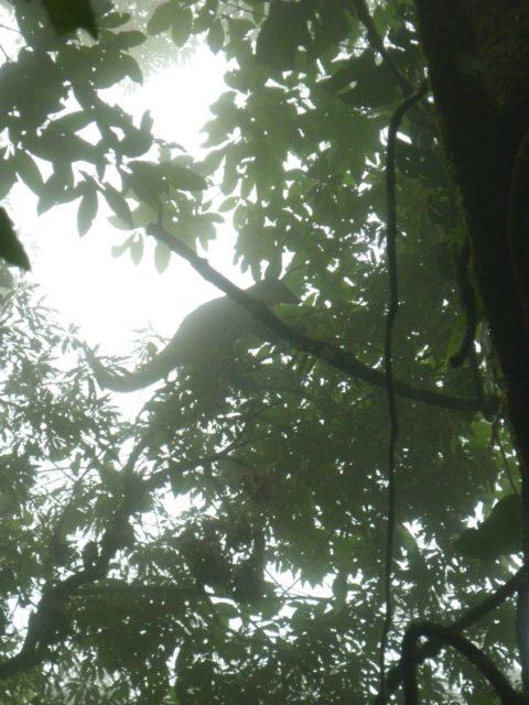 coatis à Monteverde