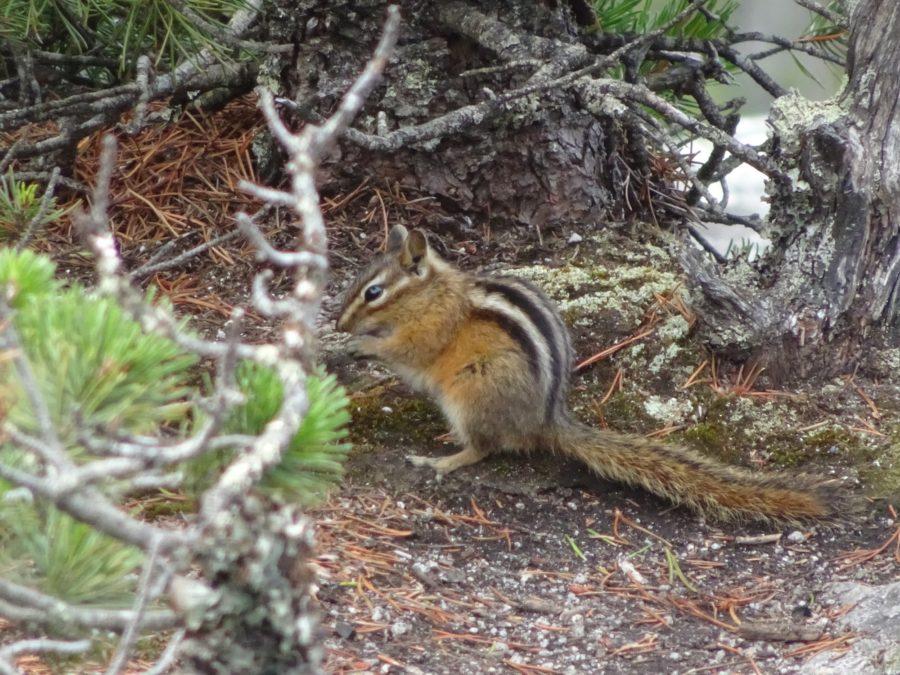 canada écureuil