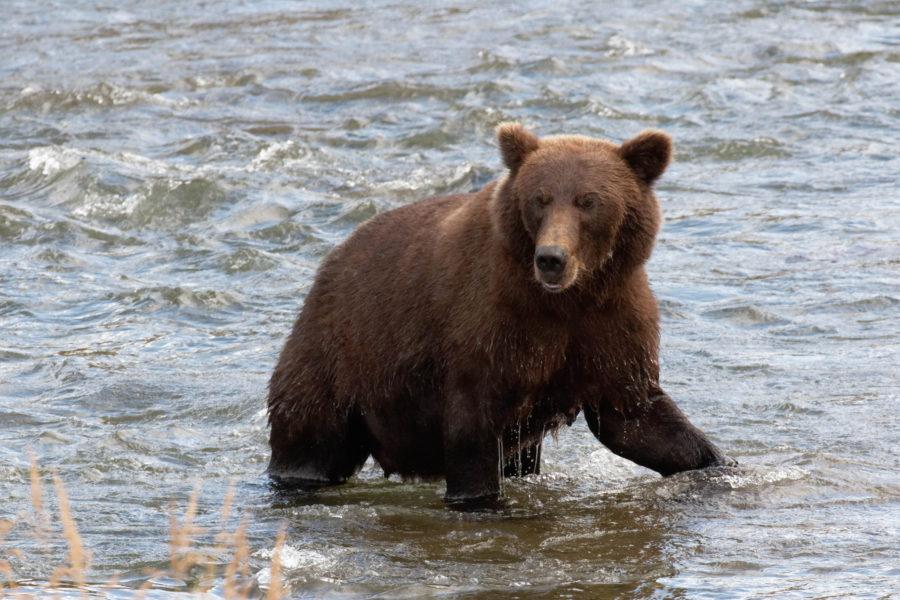 ours dans la rivière
