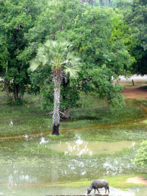 palmier dans l'eau au Cambodge
