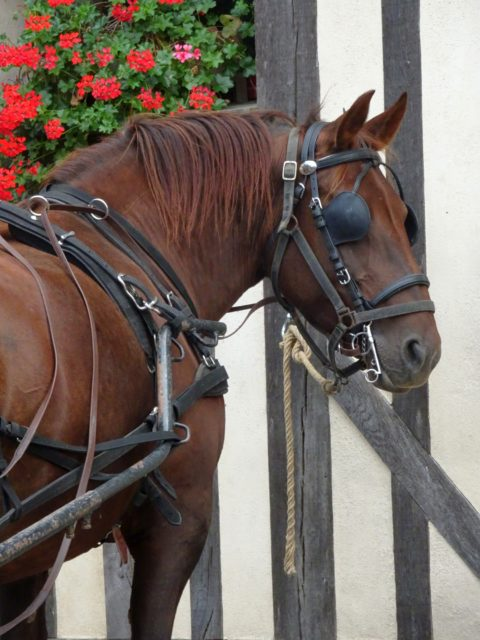 campagne cheval de trait